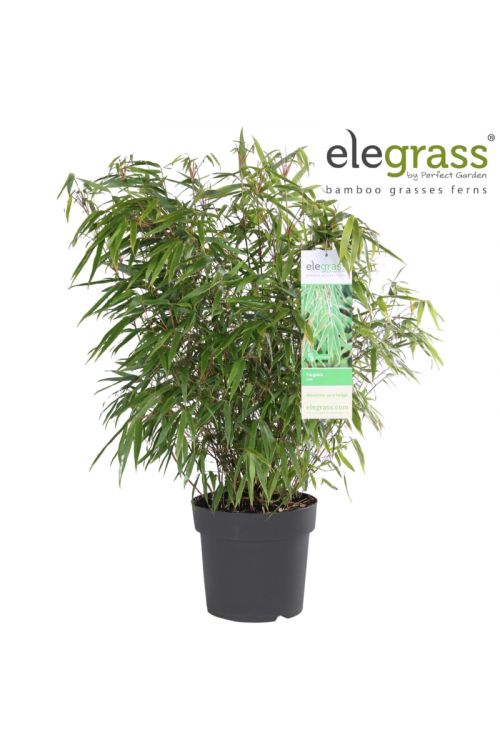 Bambus (premer lonca: 23 cm, Fargesia rufa)