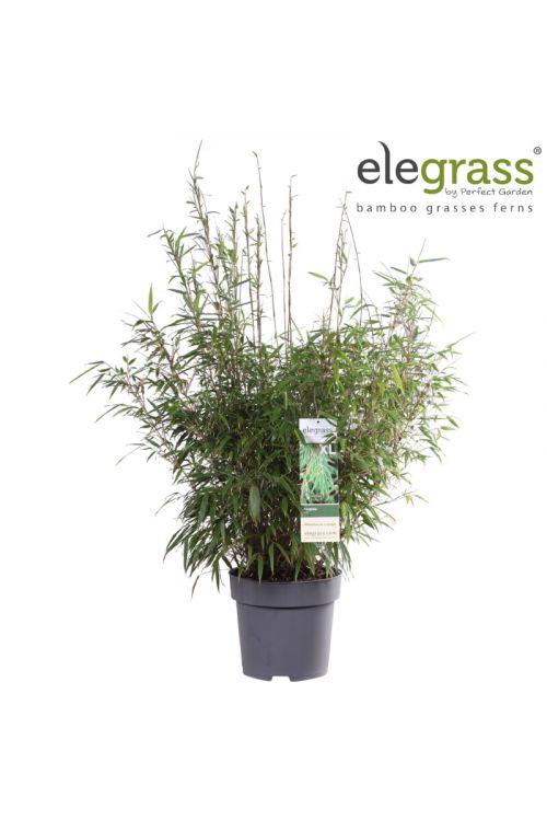 Bambus (premer lonca: 29 cm, Fargesia rufa)