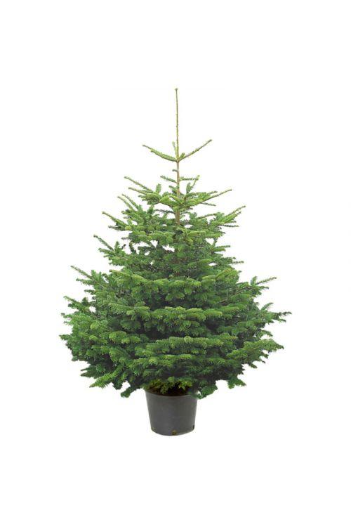 Pančičeva smreka (Picea omorika, vzgojena v loncu, 130-150 cm, volumen lonca: 7,5 l)