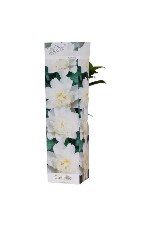 Kamelija (bele barve, Camellia)