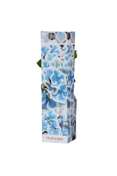 Hortenzija Bavaria (modro-bele barve, Hydrangea Bavaria)
