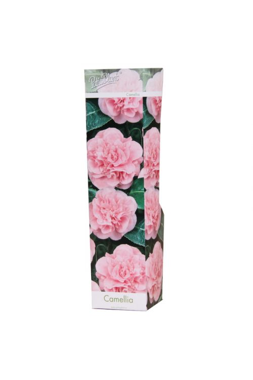 Kamelija (roza barve, Camellia)