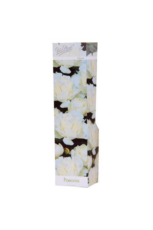 Potonika (dvojni cvet, bele barve, Paeonie)