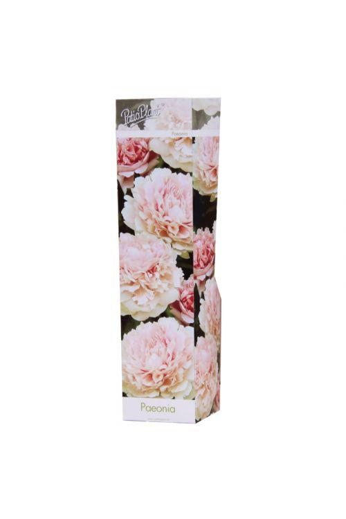 Potonika (dvojni cvet, roza barve, Paeonie)