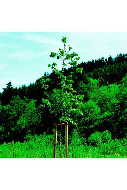 Leseni steber (80 × 150, bor)