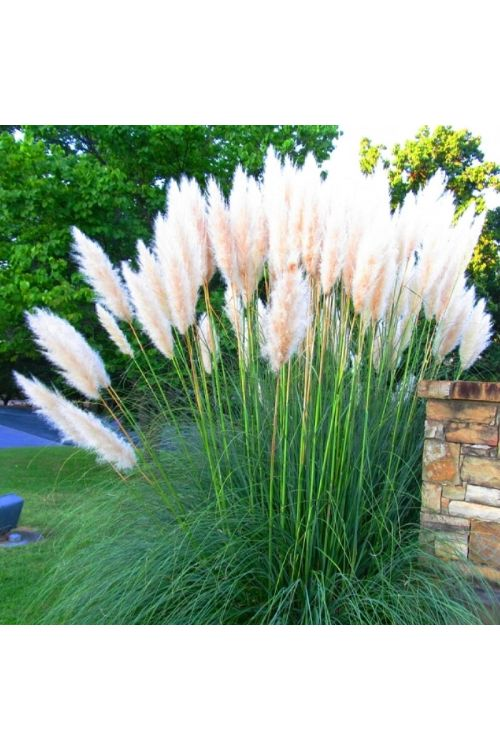 Pampaška trava (bele barve, Cortaderia selloana)