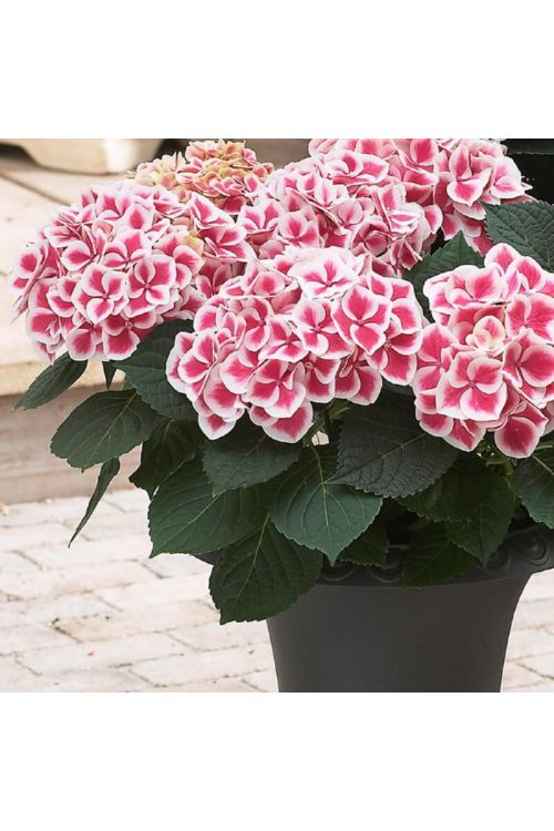 Velikolistna hortenzija Camilla (rdeče-bela, Hydrangea macrophylla Camilla)