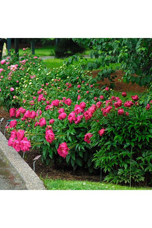 Potonika (dvojni cvet, rdeče barve, Paeonie)
