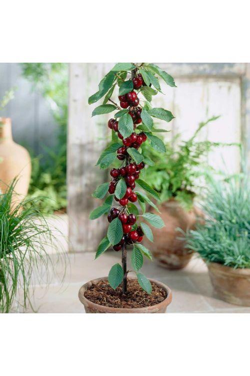 Češnja Helena (Prunus avium Helena)