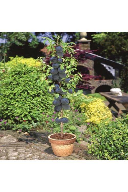 Sliva (Prunus domestica Black Amber)