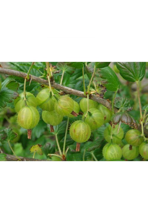 Rumena kosmulja (Ribes uva-crispa yellow)